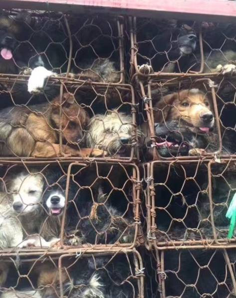 Save the dogs for the dog meat festival in Yulin, Guangxi Province -save-dogs-4-1