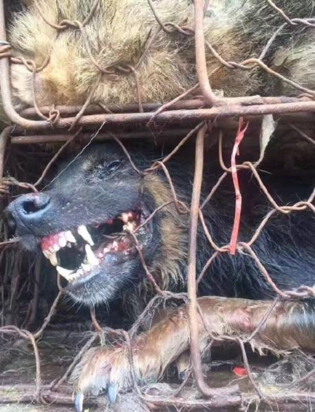 Save the dogs for the dog meat festival in Yulin, Guangxi Province -save-dogs-5-1