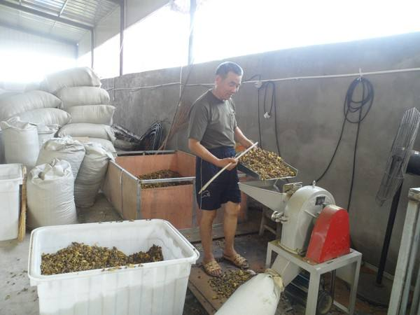 Start up to need one Chinese herbal medicine processing equipment of Houttuynia cordata -houttuynia-cordata-14-1
